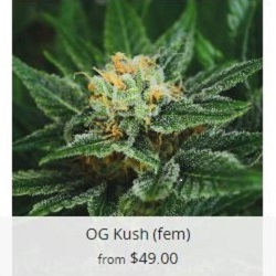 OG Kush Cannabis Seeds USA
