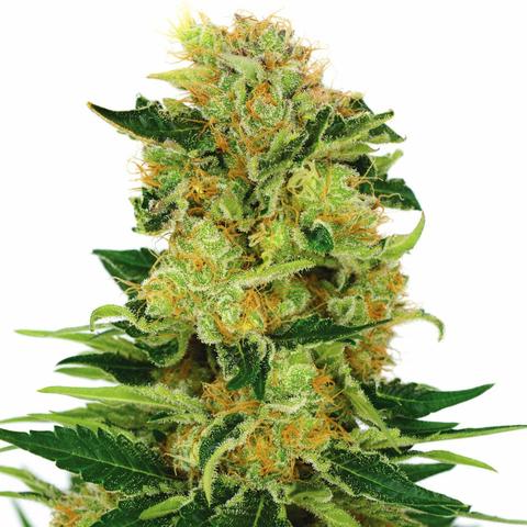 Pineapple Haze Cannabis Seeds USA