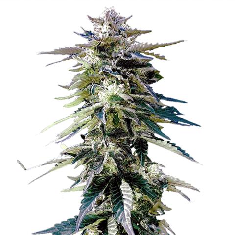Buy Purple Haze Seeds
