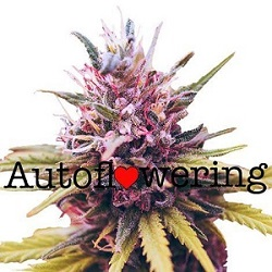 Buy Zkittles Autoflower Seeds