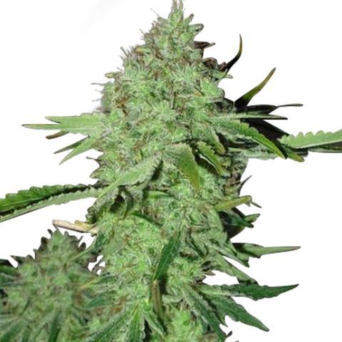 Crystal Marijuana Seeds USA