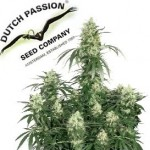 Dutch Passion seeds ranges are available in Feminized. Dutch Passion seeds are available in packs of 3, 5 & 10 feminized, 5 & 10 regular, 3 & 7 autoflowering, and a mix 6 pack.