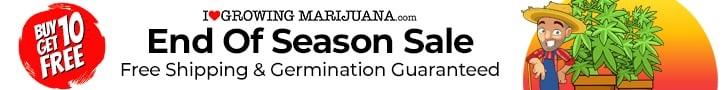 End The Season With Cheap Cannabis Seeds