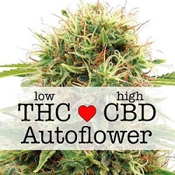 Feminized CBD Kush Autoflower Seeds