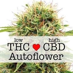 Feminized CBD Kush Autoflower Seeds