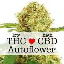 Feminized CBD White Widow Autoflower Seeds