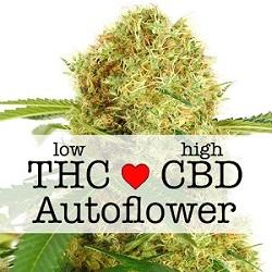 Feminized CBD White Widow Autoflower Seeds