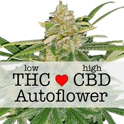 Feminized Critical Mass CBD Autoflower Seeds