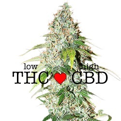 Feminized OG Kush CBD Seeds
