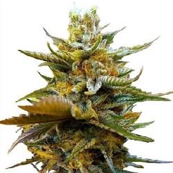 G13 Feminized Cannabis Seeds