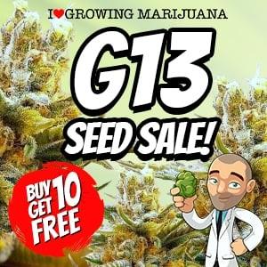 G13 Marijuana Seeds Sale