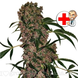 Girl Scout Cookies Extreme Cannabis Strain