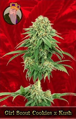 Girl Scout Cookies x Kush Feminized Seeds