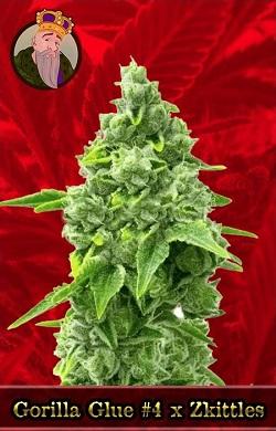 Gorilla Glue #4 x Zkittles Feminized Seeds