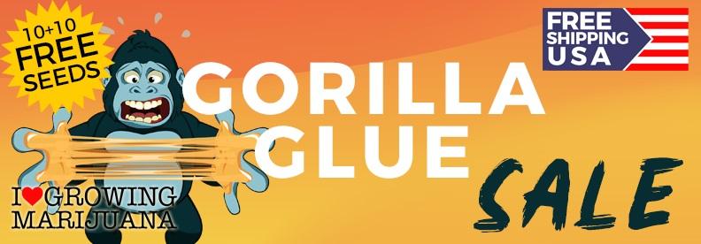 Gorilla Glue Cannabis Seeds Offer