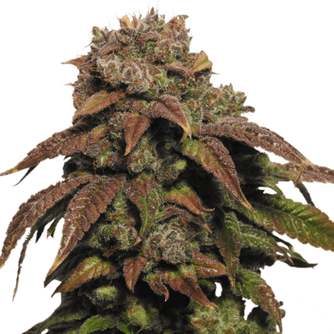 Green Crack Marijuana Seeds USA