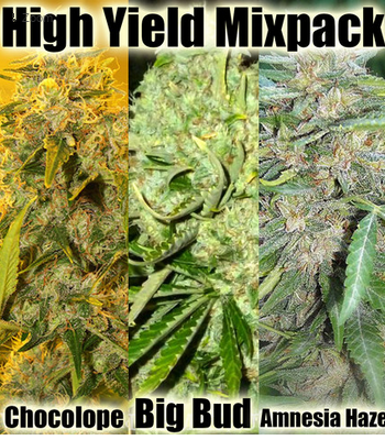 High Yield Cannabis Seeds