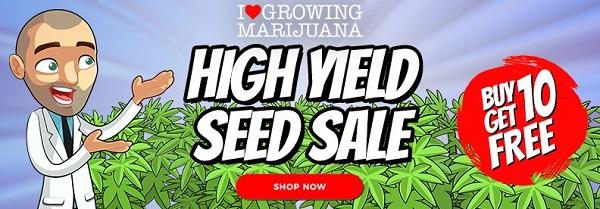 High Yielding Cannabis Seeds For Sale
