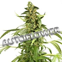 Lowryder Autoflowering Cannabis Seeds USA