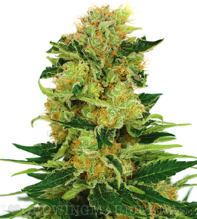 Cannabis Seeds On Sale – Buy Cannabis Seeds For Sale ...