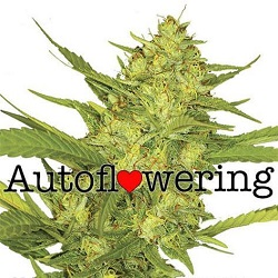 Sour Diesel Autoflowering Seeds For Sale