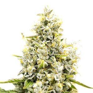 Sunset Sherbet Feminized Cannabis Seeds