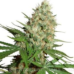 Trainwreck Cannabis Strain
