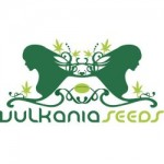 Vulkania Seeds On Sale Here - Free Cannabis Seeds With Every Order!