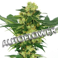 White Widow Autoflowering Cannabis Seeds USA